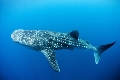 Whale Shark Specialty